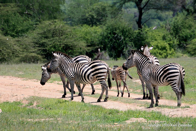 Common Zebra, Ruaha Nat. Pk. Tanzania, 1/10/09