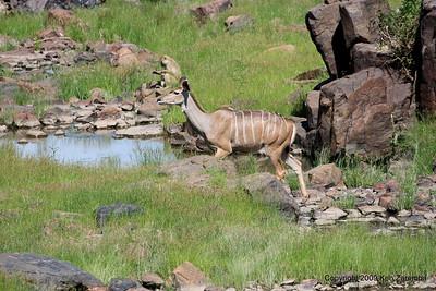 Greater Kudu, Ruaha Nat. Pk. Tanzania, 1/10/09