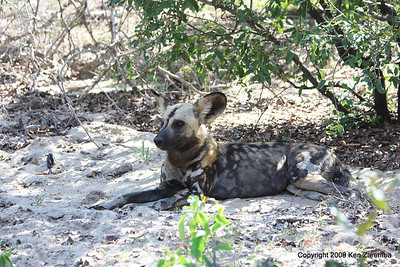 Wild Dog, Selous Game Reserve Tanzania 1/07/09