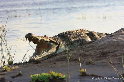 Nile Crocidile, Rufiji River Selous Game Reserve Tanzania 1/06/09
