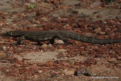 Savannah Monitor, Serengeti Nat. Pk. Tanzania 1/05/09