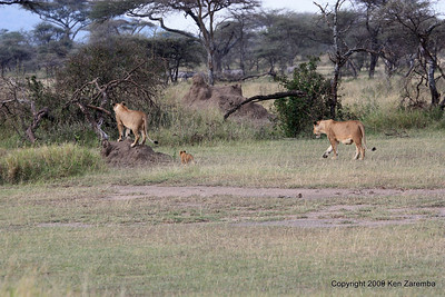 Serengeti Nat. Pk., 1/03/09 Lionesses with a cub