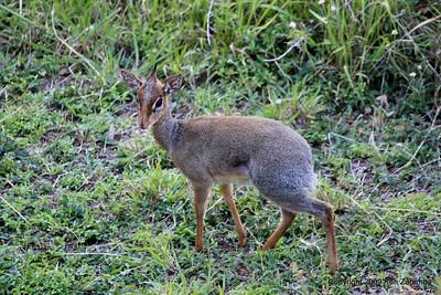 Kirk's Dik Dik, Serengeti Nat. Pk. Tanzania 1/03/09