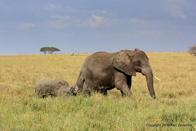Elephants, Serengeti Nat. Pk. Tanzania 1/03/09
