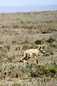 Common Jackal, Serengeti Nat. Pk. Tanzania, 1/03/09