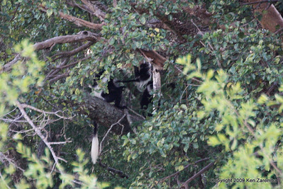 Abyssinian or Guereza Colobus Monkeys (Central African lowland form), Serengeti Nat. Pk. Tanzania 1/05/09