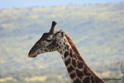 Giraffe, Serengeti Nat. Pk. Tanzania 1/05/09
