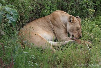 Lioness, Serengeti Nat. Pk. Tanzania 1/03/09