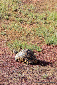 Leopard Tortoise, Serengeti Nat. Pk. Tanzania, 1/05/09