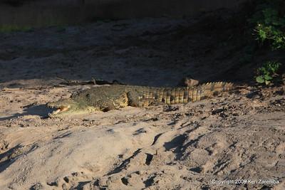 Nile Crocidile, Serengeti Nat. Pk. Tanzania 1/05/09