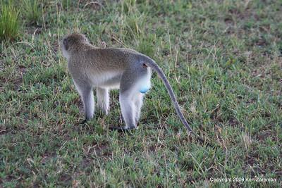 Male Black-Faced Vervet Monkey, Serengeti Nat. Pk. Tanzania 1/05/09