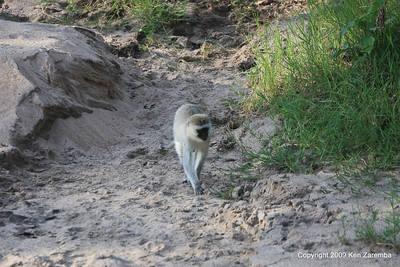 Black-faced Vervet Monkey, Serengeti Nat. Pk. Tanzania 1/05/09