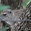 Tree Hyrax, Serengeti Nat. Pk. Tanzania 1/03/09
