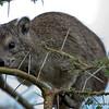 Tree Hyrax, Serengeti Nat. Pk. Tanzania 1/04/09