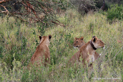 Three Lionesses looking for dinner, Serengeti Nat. Pk.  1/03/09