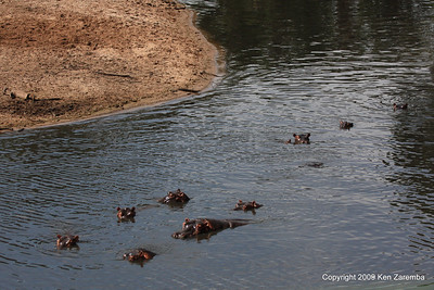 Hippopotomus, Serengeti Nat. Pk. Tanzania 1/05/09
