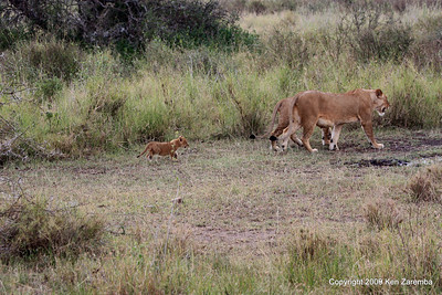 Lioness with just one cub, Serengeti Nat. Pk 1/03/09
