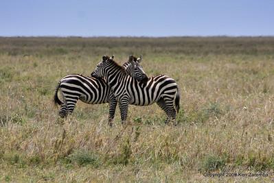 Common Zebras in protective stance, Serengeti Nat. Pk. Tanzania 1/03/09