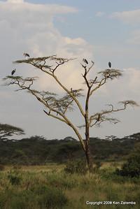 Marabou Storks, Serengeti Nat. Pk. Tanzania, 1/03/09