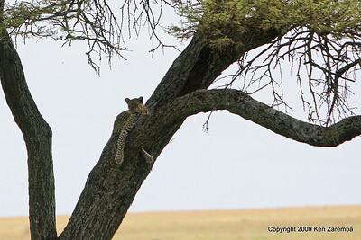 Leopard, Serengeti Nat. Pk. Tanzania 1/03/09