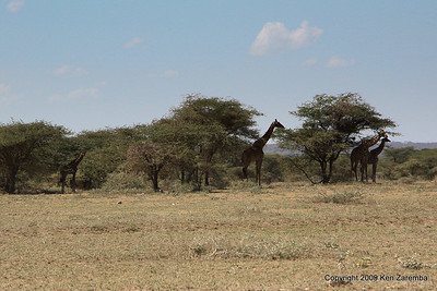 Giraffes standing in the shade to avoid the mid-day sun, Tanzania 1/03/09