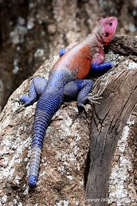 Agama Lizard, Serengeti Nat. Pk. Tanzania, 1/03/09