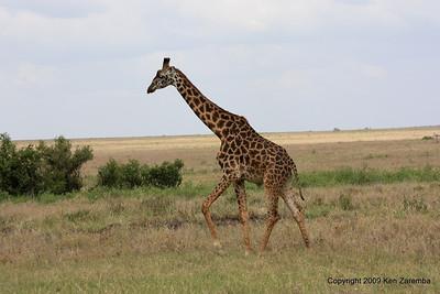 Masai Giraffe, Serengeti Nat. Pk. Tanzania 1/03/09