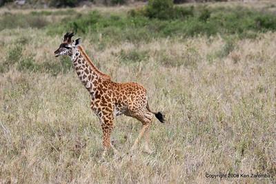 Baby Masai Giraffe,  Serengeti Nat. Pk. Tanzania 1/03/09