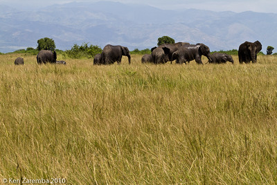 Elephants, females and youngsters