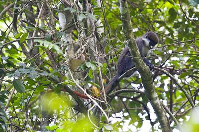 Cephus Monkey, species Red-tailed Monkey