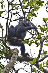 Chimpanzee, Kibale National Park