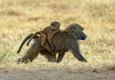 Olive baboon and young