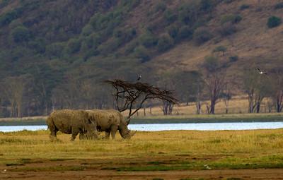 White rhinos at Lake Nakuru NP