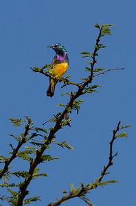 Sunbird on acacia tree
