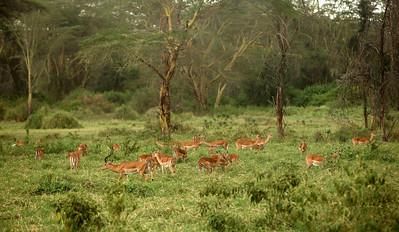 Impala at Lake Nakuru NP