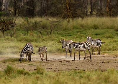 Giraffe Family, Lake Nakuru NP