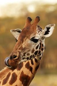 Rothschild's giraffe and tongue