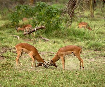 Jousting impala