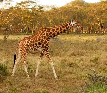 Rothschild's giraffe, an endangered subspecies