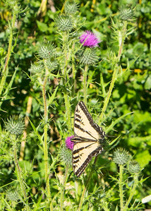Pale Swallowtail butterfly on a thistle in Anthony Chabot Regional Park.