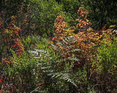 Poison Oak and Fern