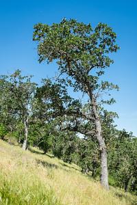 Steep Hill Trees