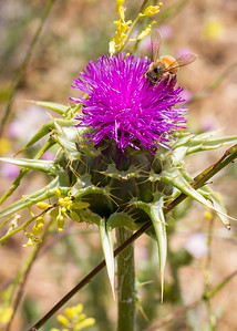 Milk Thistle and Bee