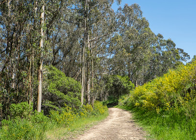 Eucalyptus & French Broom