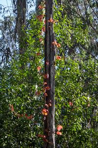 Poison Oak Pole