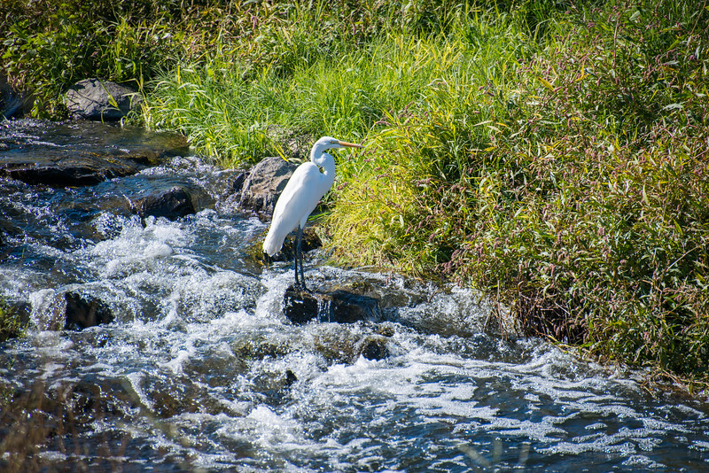 Egret on the Falls