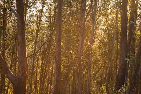 Wildcat Canyon Regional Park; california; east bay; east bay regional parks The sun shines through the eucalyptus.