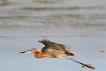 Flying Under The Radar -Reddish Egret