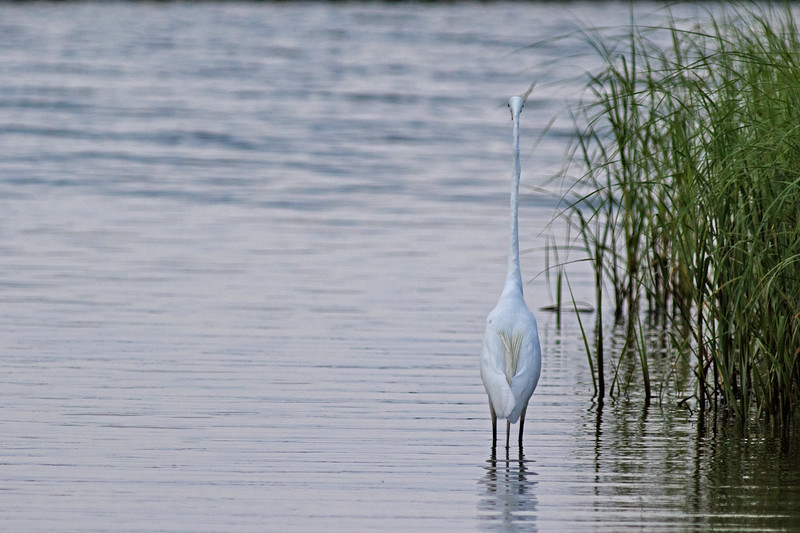 Stealth Great White Egret