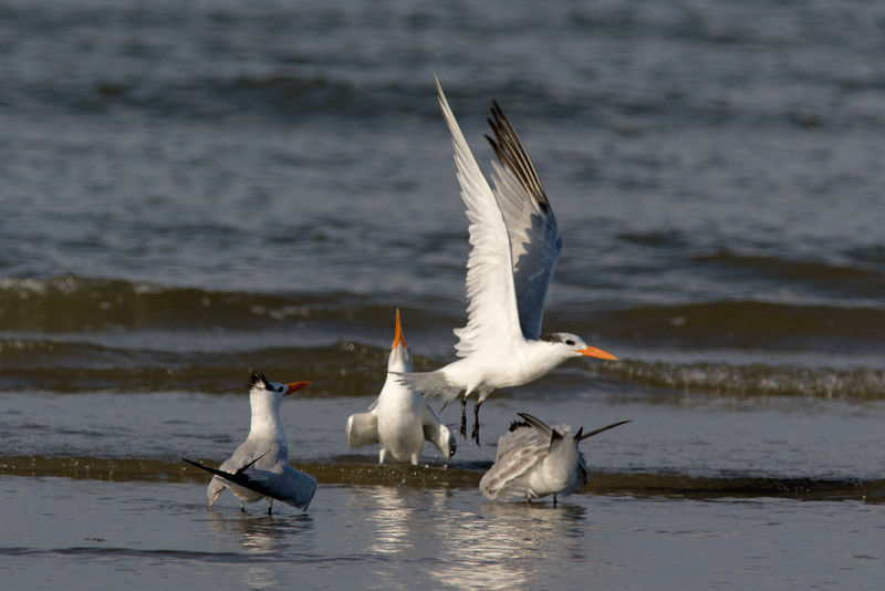 Royal Terns Off to Get More Fish